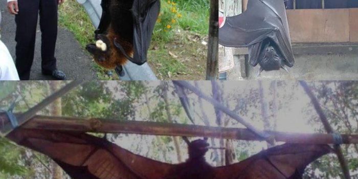 kelelawar raksasa sebesar manusia